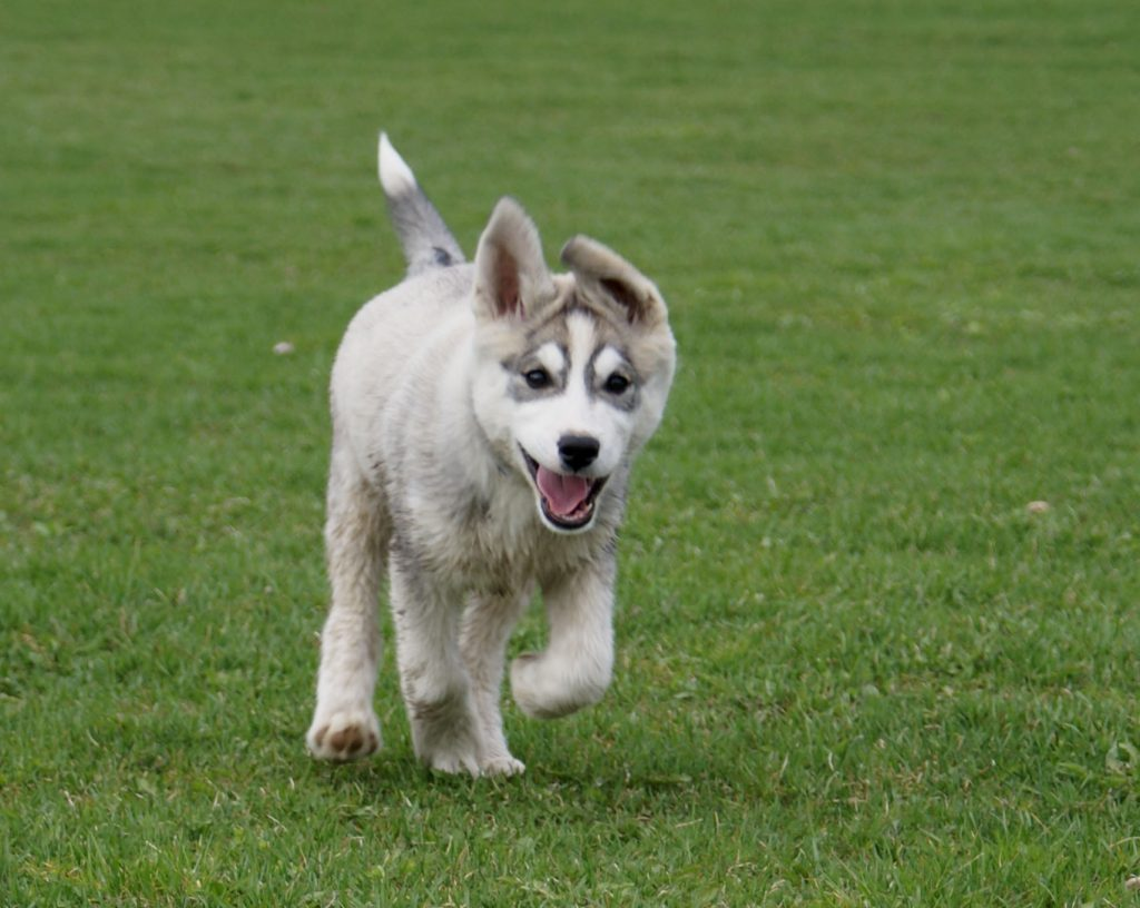A dog running in a park. (Credit: Randi Hausken/Flickr)