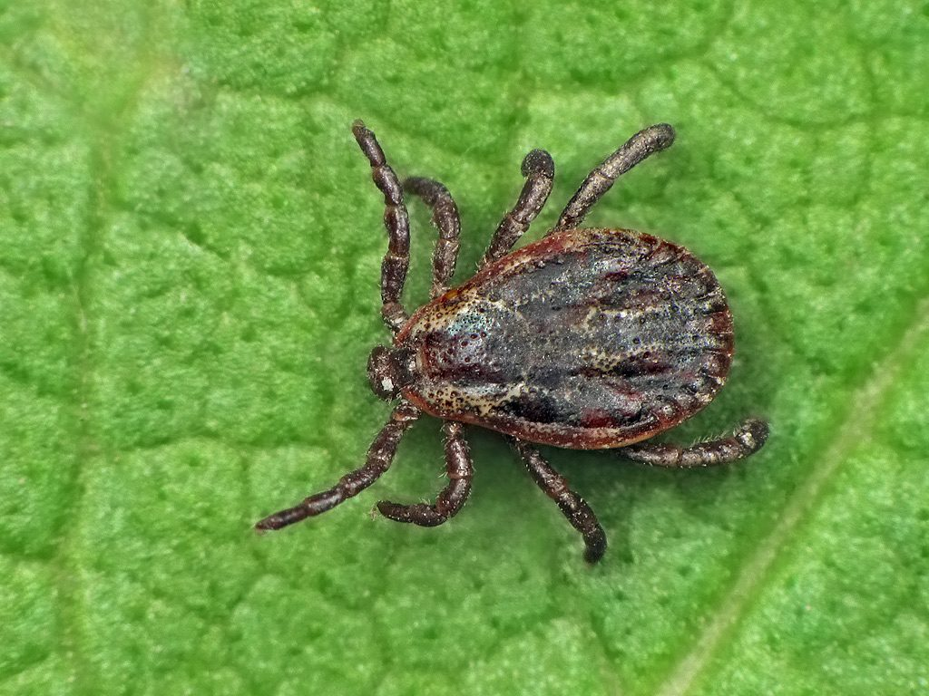 Tick (Credit: Flickr)