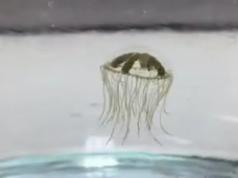 Clinging Jellyfish (File Photo)