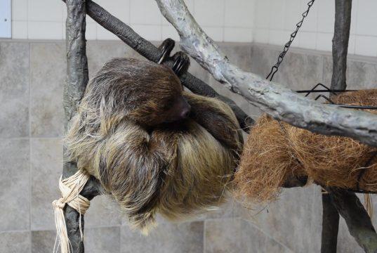 Wally the sloth at Jenkinson's Aquarium, Point Pleasant Beach. (Photo: Daniel Nee)