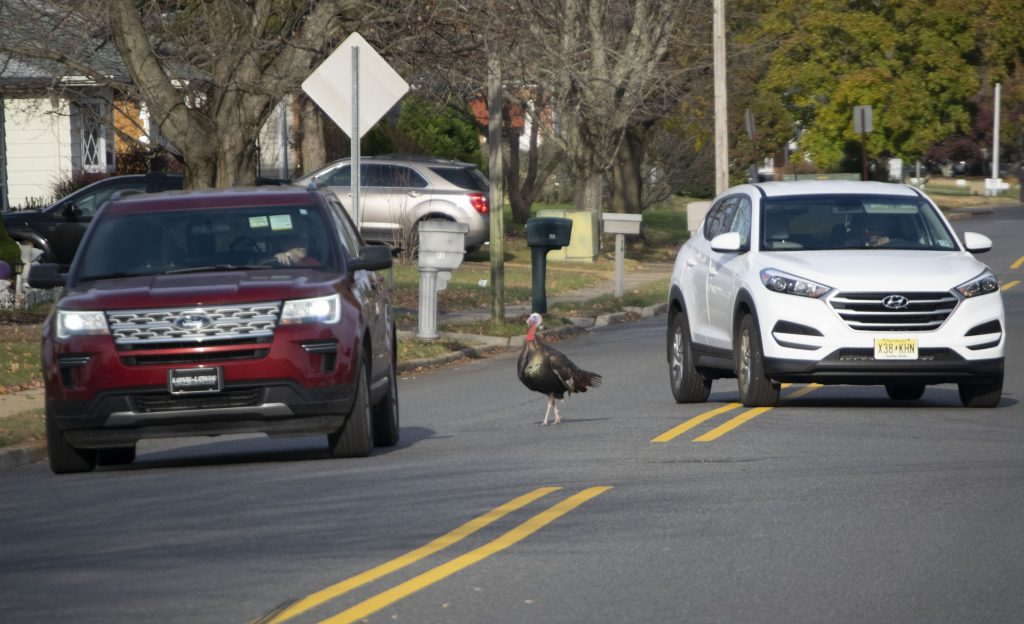 Wild turkeys in a Toms River neighborhood, Nov. 11, 2019. (Photo: Daniel Nee)