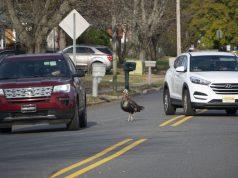 Wild turkeys in a Toms River neighborhood, Nov. 11, 2019. (Photo: Daniel Nee)