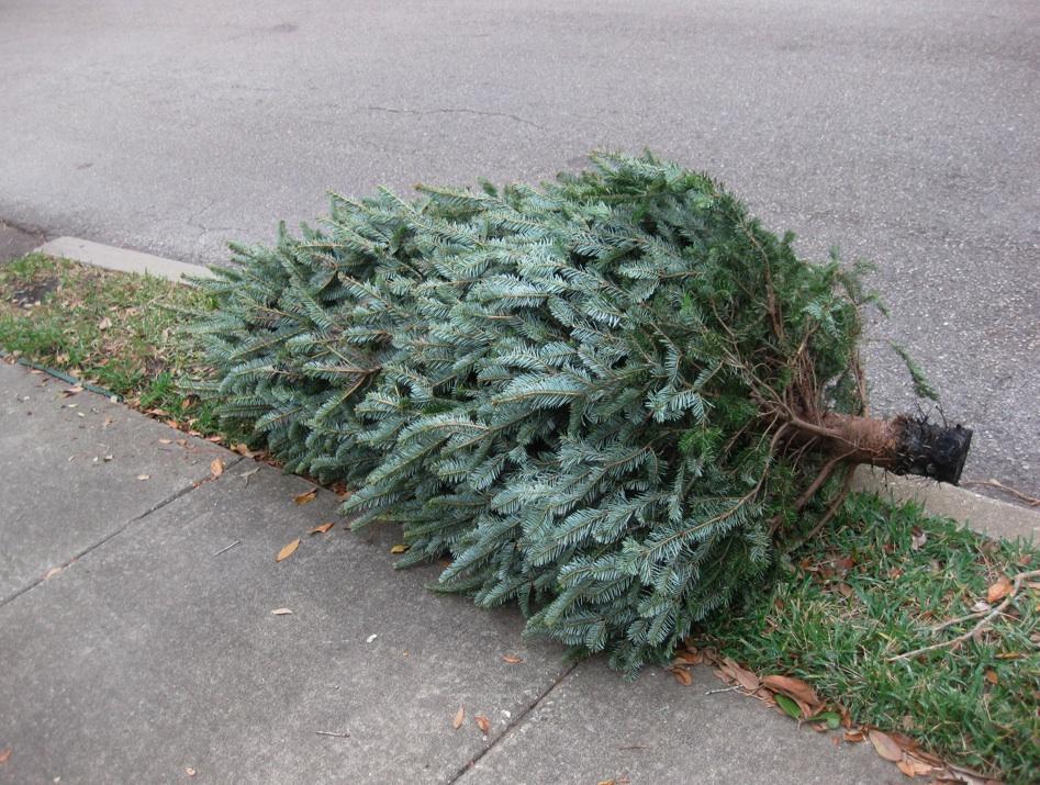 A discarded Christmas tree. (Photo: Daniel Nee)