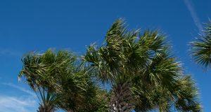 Palm trees in a Florida community. (Photo: Daniel Nee)