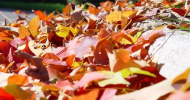 Fall leaf, leaves pickup. (Credit: Scott Robinson/ Flickr)